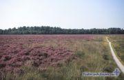 Paarse heide op het Noordsche veld